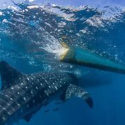 Whale shark (Rhincodon typus), approaching a banca boat, Honda Bay, Palawan, the Philippines, Sulu Sea