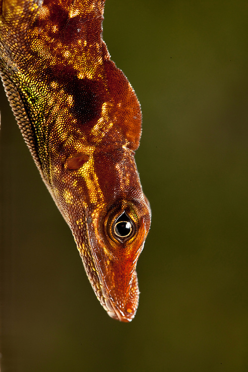 Anolis ventrimacuatus in the Choco Department of Colombia