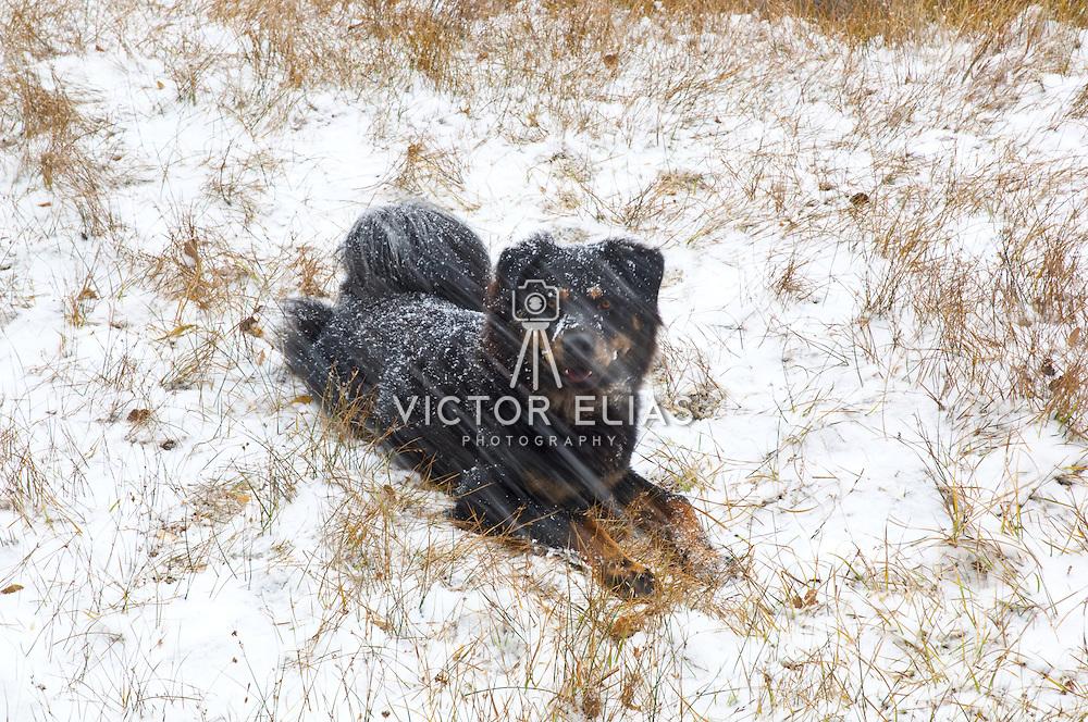 Dog lying on the fresh snow. Bishop. California, USA.