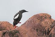 Black Guillemot  (Cepphus grylle) walking up a rock