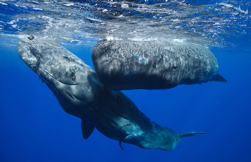 Two sperm whales (Physeter macrocephalus) at the surface. Dominica.
