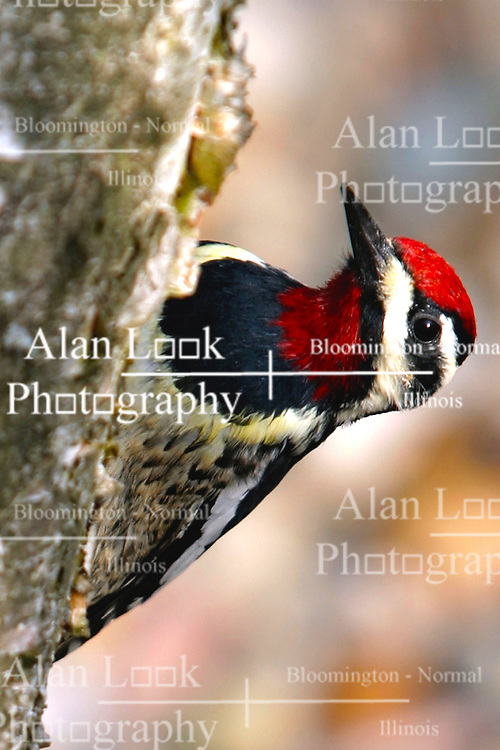Yellow-Bellied/Red-capped sapsucker on white paper birch (Photo by Alan Look)