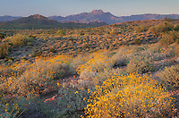 Brittlebush (Encelia farinosa) glowing in the light of the setting sun, Superstition Mountains Arizona