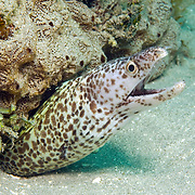 Spotted Moray inhabit wide range of reefs; hide during day in recesses, often extend head from openings in Tropical West Atlantic; picture taken St. Vincent.