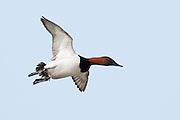 Canvasback, Aythya valisineria, male, Saginaw Bay, Michigan