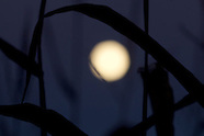 Harvest moon over a cornfield