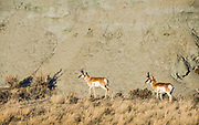 A pair of pronghorn bucks graze across the bluff with the heard only a few hundred yards away.