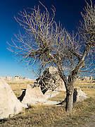 A barren cottonwood tree stands out on the prairie at Badlands National Park, South Dakota, USA.