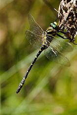 Libellen, Odonata, Dragonflies