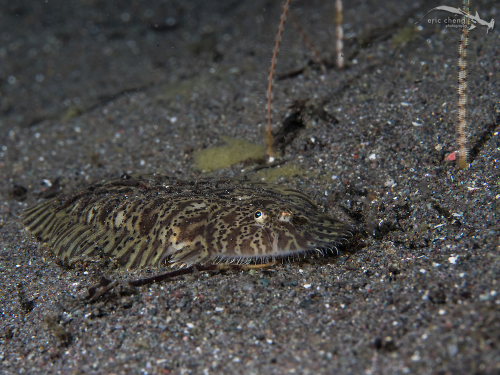 A carpet sole (Liachirus melanospilus) creeps along the sand during a night dive. Torpedo Point, Horseshoe Bay, Komodo National Park, Indonesia.