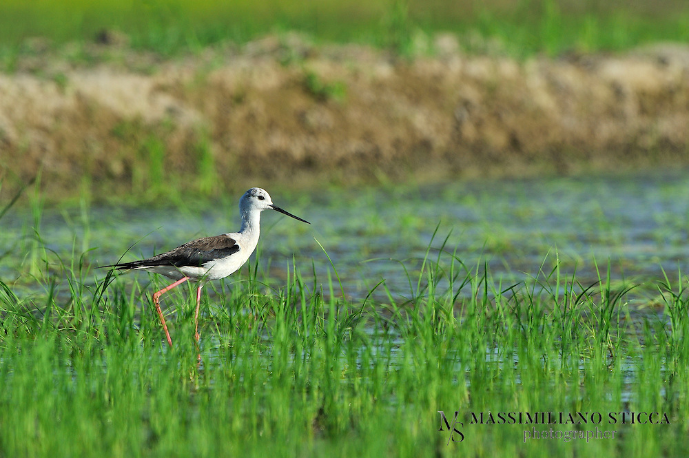 The Black-winged Stilt, Common Stilt, or Pied Stilt (Himantopus himantopus) is a widely distributed very long-legged wader in the avocet and stilt family (Recurvirostridae). Opinions differ as to whether the birds treated under the scientific name H. himantopus ought to be treated as a single species and if not, how many species to recognize. Adults are 33–36 cm long. They have long pink legs, a long thin black bill and are blackish above and white below, with a white head and neck with a varying amount of black. Males have a black back, often with greenish gloss. Females' backs have a brown hue, contrasting with the black remiges. In the populations that have the top of the head normally white at least in winter, females tend to have less black on head and neck all year round, while males often have much black, particularly in summer. This difference is not clear-cut, however, and males usually get all-white heads in winter..Immature birds are grey instead of black and have a markedly sandy hue on the wings, with light feather fringes appearing as a whitish line in flight.