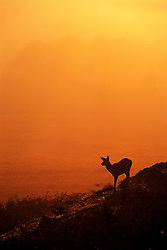 Red deer hind (Cervus elaphus) at sunset, Bradgate Country Park, Leicestershire, England, UK..