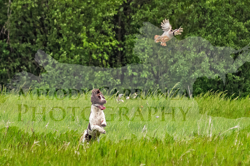 The 2017 Randy Cooley Memorial Hunt Test took place at Rock River Kennels, in Beaver Dam, WI. Photography was made May 20, 2017, at the Junior/Senior field. The weather was wet and rainy.