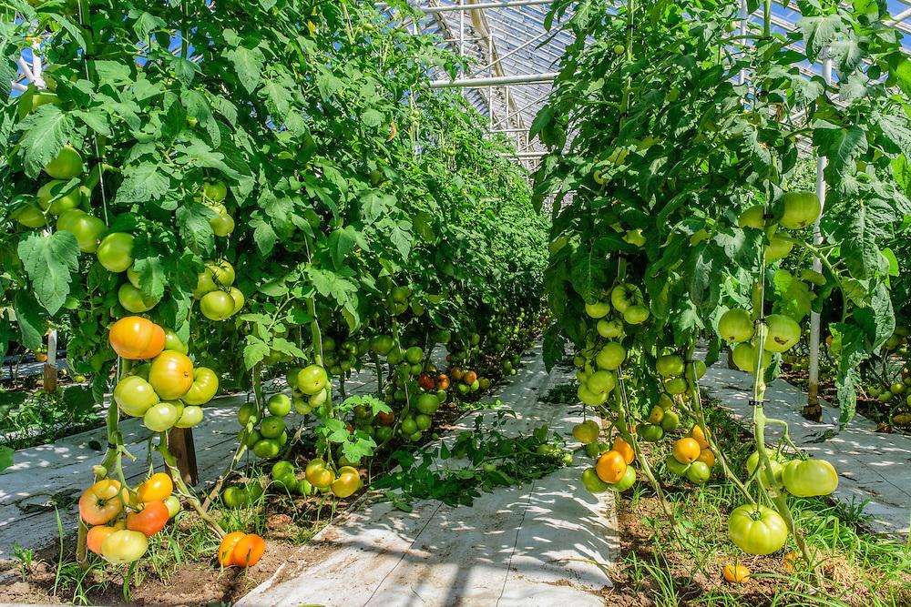 Tomatoes, Wickham's Fruit Farm, Cutchogue, NY