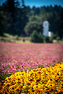 Black eyed susan or rudbeckia blossoms at front of colorful flower fields at a seed farm in Silverton, Oregon. Pink echinacea or coneflower blossoms and  farm building are blurred as bokeh in the background.