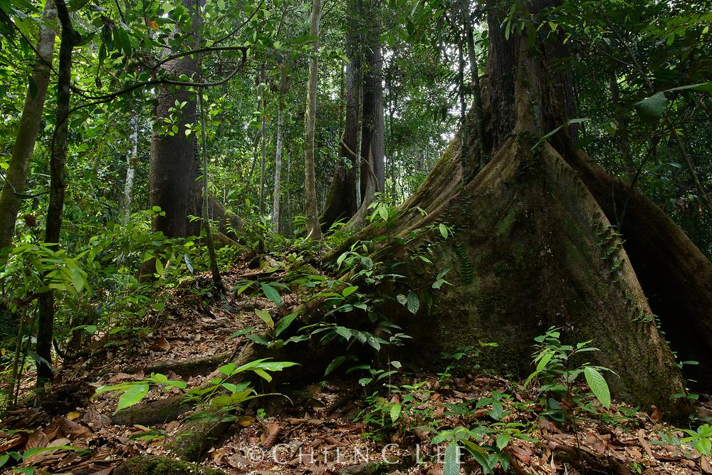 Parashorea malaanonan, buttress roots. Danum Valley Conservation Area, Sabah, Malaysia.