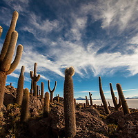 "Cactus stand in the ""Isla del pescador"" (fisherman´s island)  in the middle of world´s largest salt flat, Uyuni, Bolivia: Bernardo De Niz"