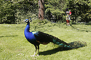 A peacock is standing in a garden at Nunnington Hall, Yorkshire, England, United Kingdom.