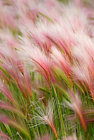 Foxtail barley (Hordeum jubatum L.)