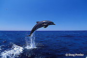 bottlenose dolphin, Tursiops truncatus (c-r)<br /> jump sequence (#2 of 4)<br /> Roatan, Honduras ( Caribbean Sea )