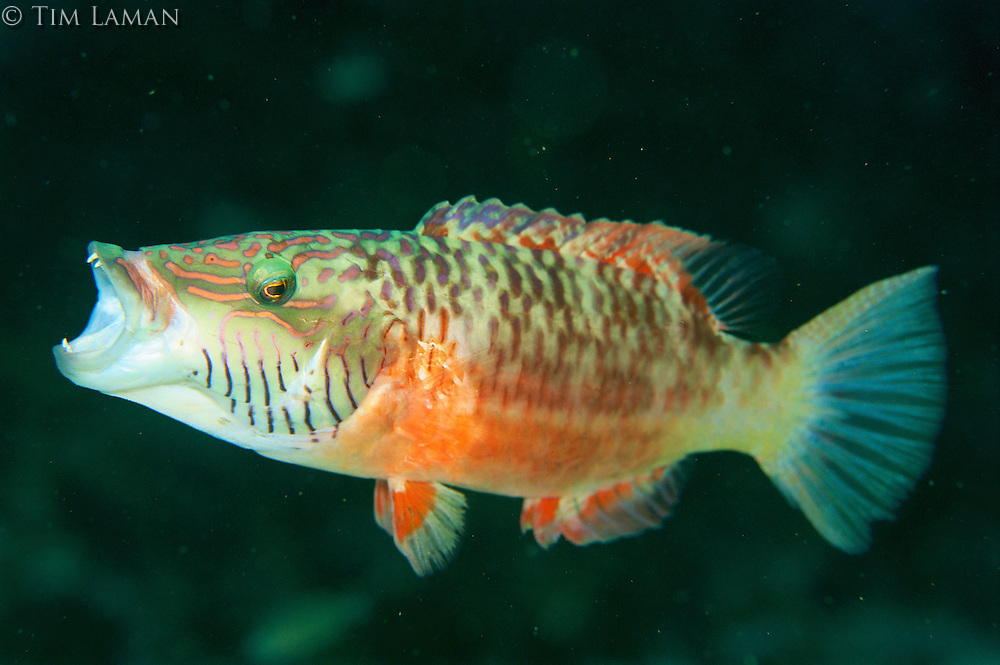 A barcheek wrasse gaping its mouth, which causes instant color change.