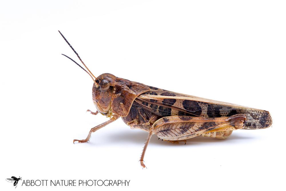 Wrinkled Grasshopper (Hippiscus ocelote)<br /> TEXAS: Lamar Co.<br /> Camp Maxey National Guard<br /> Powderly  4.VIII.2014<br /> N33.78015 W95.53824 351 ft<br /> J.C. Abbott #2676 &amp; K.K. Abbott