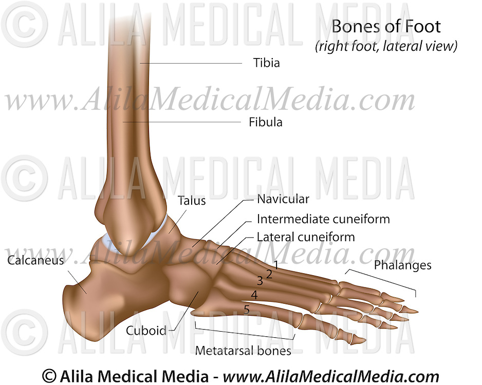 Bones Of Foot Alila Medical Images