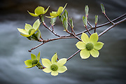 Dogwood Blossoms, Merced River, Yosemite National Park, California 2015