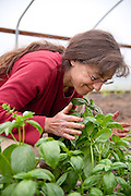Mature woman smelling basical in a greenhouse on Dancing Roots Farm in Troutdale, Oregon.