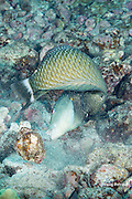 adult rockmover wrasse or dragon wrasse, Novaculichthys taeniourus, drops a large rock moved to uncover a hiding sea urchin, Kohanaiki, Kona, Hawaii ( Central Pacific Ocean )