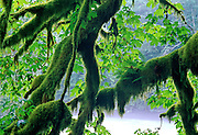Moss & Ferns growing on limbs over Nooksack River - Mt. Baker N.F., Washington.