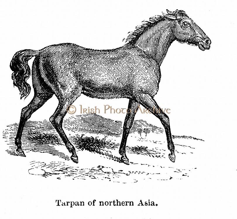 Tarpan, prehistoric wild horse of which died out in the late 1800s.  Modern genetic creation made in 1930s using breeds of pony with Tarpan ancestry.  Wood engraving 1850.