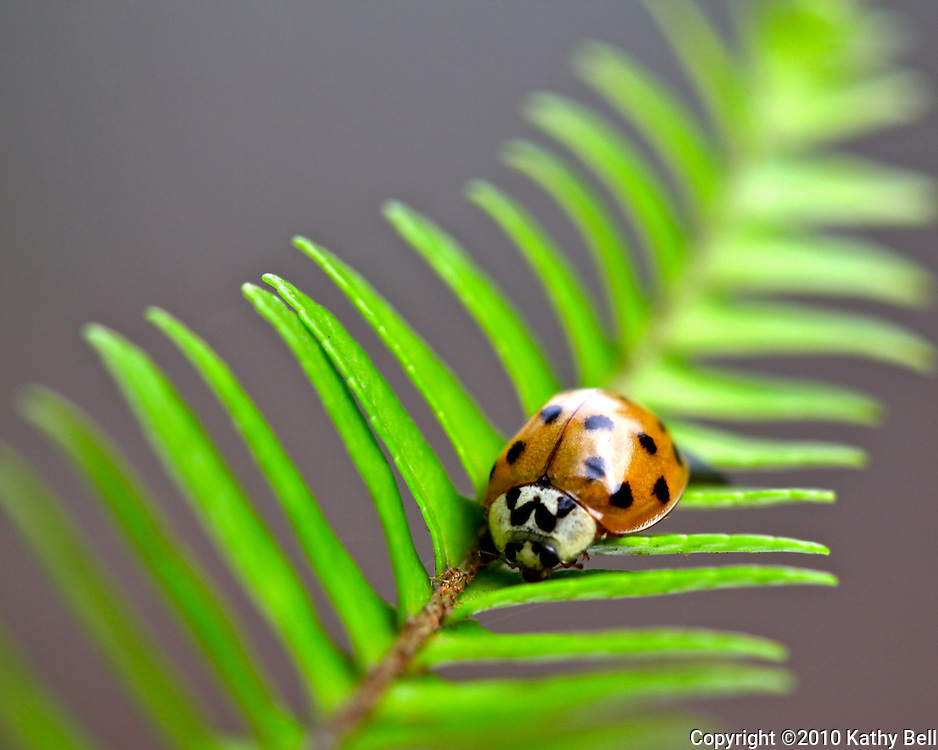 Image of a ladybug on a fern leaf