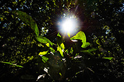 Sunlight penetrates through the canopy of the Amazon rainforest, Brazil.
