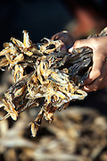 'Bombay Duck' (dried eel) at Goghla Village, Diu.