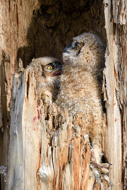 Great Horned Owlets (bubo virgianus), Boulder County, Colorado