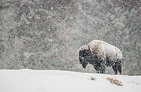 Bull bison standing on a snow covered ridge in a blizzard