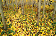 Fall aspen leaves on forest trail in the San Juan Mountains, San Juan National Forest, Colorado USA