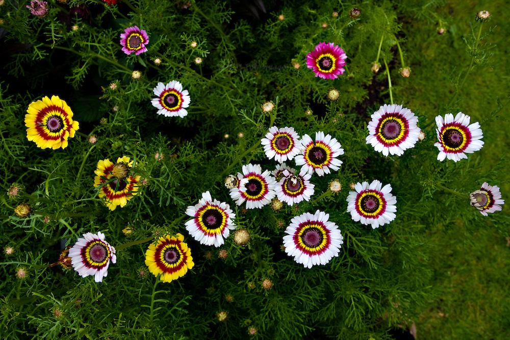 Pattern of round daisy blooms in St. James Park, June, 2007.  Looking down on multicolored blossoms: yellow, pink, white.