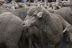 October 23, 2016 - Madrid, Madrid, Spain - the 23rd edition of the Fiesta de la Transhumancia (Transhumance Festival). The annual event sees hundreds of sheep led by sheperds through the Spanish capital in a tradition of seasonal livestock migration from the Middle Ages held to stress the importance of shepherds in the rural development and their culture in Spain.  Madrid, Spain, 23 October 2016, (Credit Image: © Oscar Gonzalez/NurPhoto via ZUMA Press)