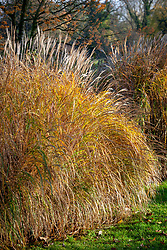 Miscanthus sinensis 'Yakushima Dwarf' in autumn colour