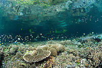 Next to a Mangrove forest, thriving Hard Corals reflect off of the ocean surface.<br /> <br /> Shot in Indonesia