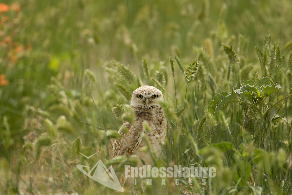 An Adult Burrowing Owl standing in the tall grasses in the west desert of Utah.