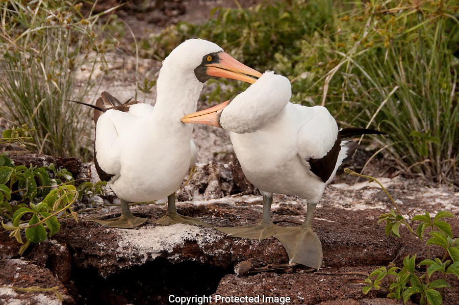 The two Nazca Boobies landed at a prospective nesting site.  Allowpreening helps build a strong pair bond between them.