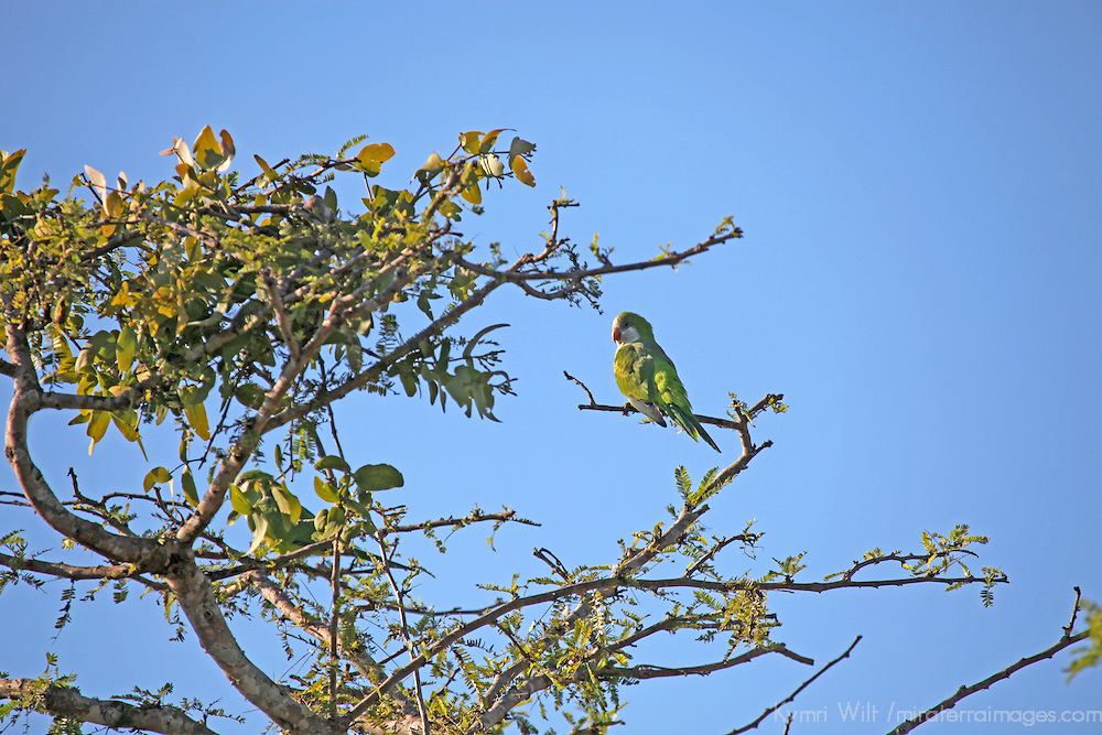 South America, Brazil, Pantanal.  Monk Parakeet of the Pantanal.