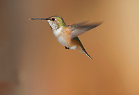 Rufous Hummingbird (Selasphorus rufus), Gabriola Island, British Columbia, Canada   Photo: Peter Llewellyn