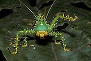 Katydid; Panacanthus; Ecuador, Prov. Napo; amazon Basin; Katydid; Panacanthus; Ecuador, Prov. Napo; amazon Basin;