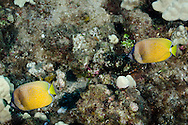 Blacklip Butterflyfish, Maui Hawaii
