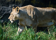 Female Lion. The lion (Panthera leo) is a member of the family Felidae and one of four big cats in the genus Panthera. It is the second-largest living cat after the tiger. Wild lions currently exist in Sub-Saharan Africa and in Asia with a critically endangered remnant population in northwest India, having disappeared from North Africa, the Middle East, and Western Asia in historic times. Until the late Pleistocene (about 10,000 years ago), the lion was the most widespread large land mammal beside humans. They were found in most of Africa, much of Eurasia from western Europe to India and, in the Americas, from the Yukon to Peru. Photographed in the Woodland Park Zoo, Seattle, Washington, USA.
