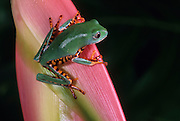 A tiger-striped leaf frog (Phyllomedusa tomopterna) on a colorful heliconia flower. Range: South America, Surinam, Guyana, Brazil. Captive.